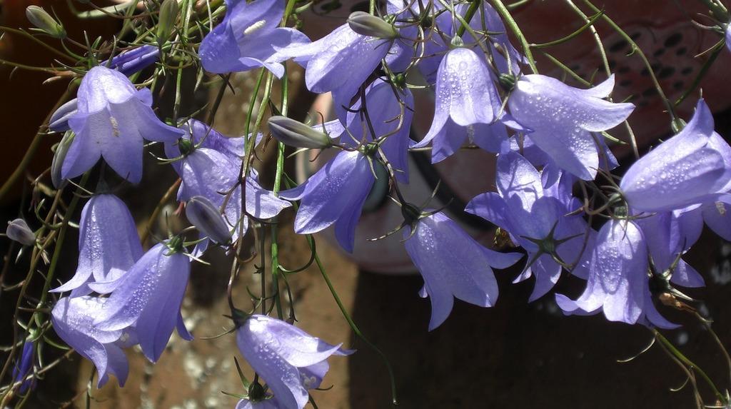 flower-campanula-harebell