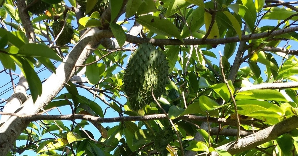 my soursop tree